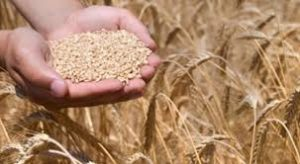 wheat from chaff